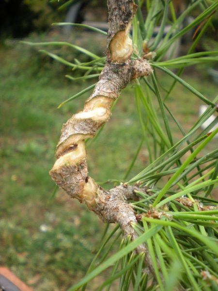 bonsaetligaturesaot201022119.jpg